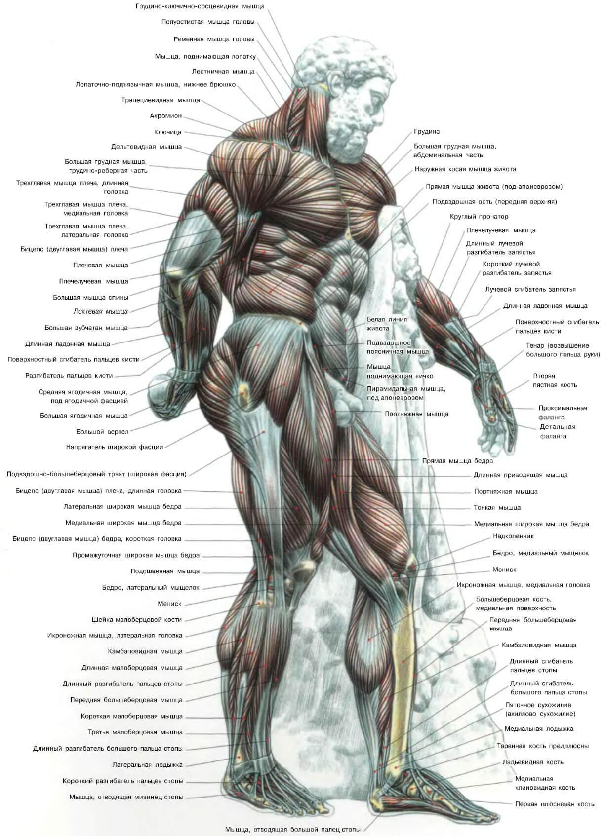 Программа Тренировок Ноги Плечи