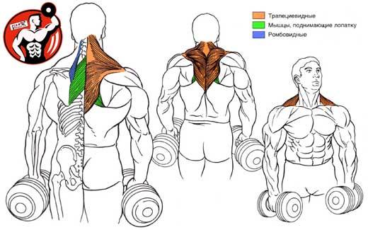 в наращивании мышечной