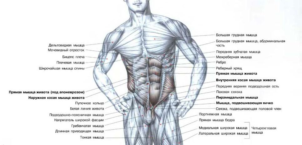 Накачать пресс - анатомия