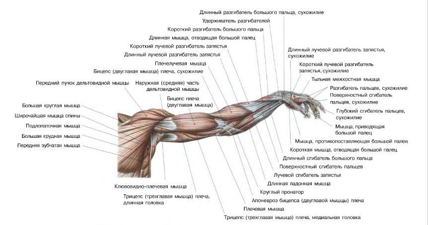 Накачать руки - анатомия