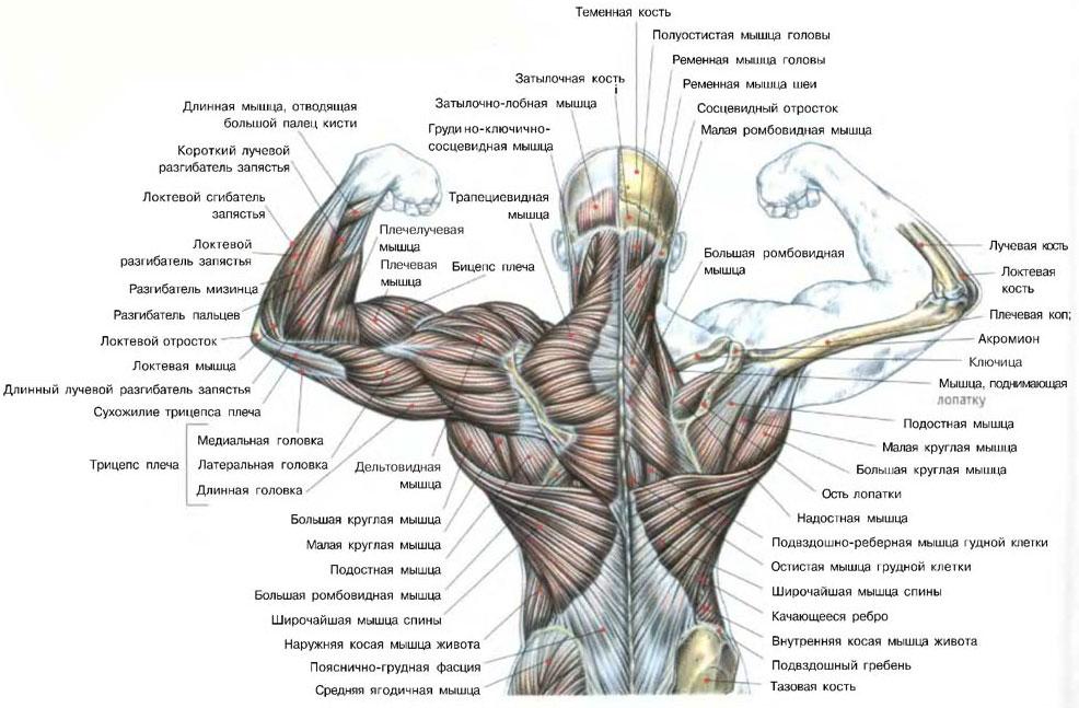 Накачать спину - анатомия